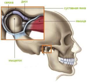 Анатомическое строение сустава челюстного видеоклипы массажа коленного сустава