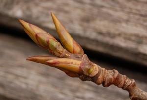 Лечение коксартроза тазобедренного сустава народными средствами