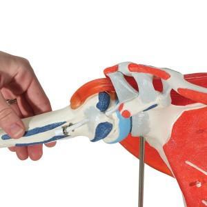 Модель плечевого сустава