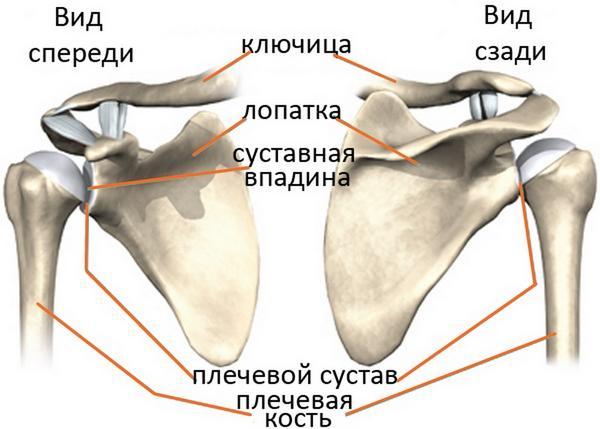 Мышечное строение плечевого сустава распухло колено лечить