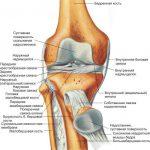 Коленный сустав: анатомия