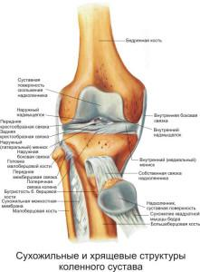 сухожилия и хрящи коленного сустава